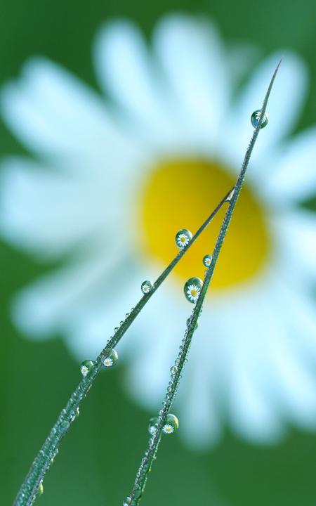 Dew_drops